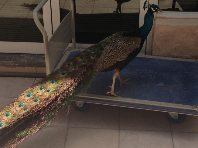 Peacocks in this resort too!
